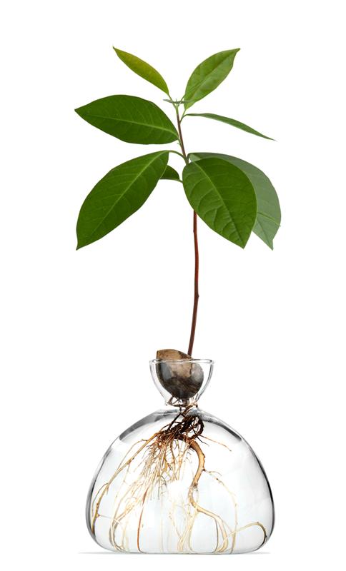 Avocado Vase, The Ultimate White Elephant Gift of 2021 // Avocado-Growing Vase